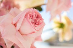 Macro delicate fresh pink rose flower. Wedding fresh flowers decoration.  stock images