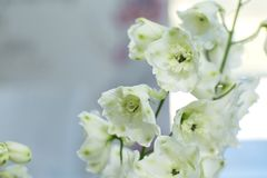 Macro delicate fresh wthite delphinum flower. Wedding fresh flowers decoration stock images