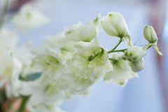 Macro delicate fresh wthite delphinum flower. Wedding fresh flowers decoration.  stock image