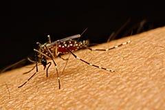 Macro dell'aedes aegypti della zanzara che succhia sangue vicino su sul Fotografia Stock Libera da Diritti