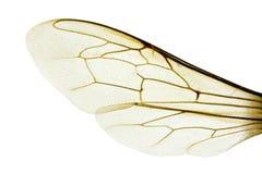 Macro dell'ala, ape occidentale del miele fotografia stock