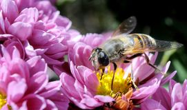 Macro dell'ape Immagine Stock Libera da Diritti