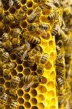 Macro dell'ape di funzionamento sui honeycells Fotografia Stock Libera da Diritti