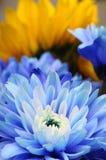 Macro dell'aster blu del fiore Immagini Stock Libere da Diritti