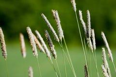 Macro dell'erba selvatica Immagine Stock