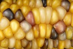 Macro dell'indiano del cereale della pannocchia Immagini Stock Libere da Diritti
