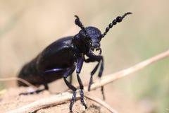 Macro dell'insetto Immagine Stock