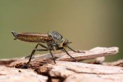 Macro dell'insetto Fotografia Stock