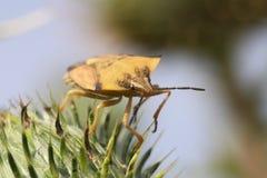 Macro dell'insetto Immagine Stock Libera da Diritti