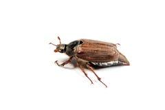 Macro dell'insetto di maggio isolata su bianco. Fotografie Stock Libere da Diritti