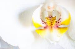 Macro dell'orchidea Fotografie Stock Libere da Diritti