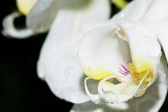 Macro dell'orchidea bianca bagnata Fotografia Stock