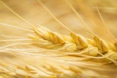 Macro dell'orecchio del grano di Goldln Immagini Stock Libere da Diritti