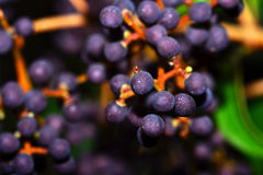 Macro dell'uva Immagini Stock