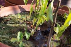Macro della base di una pianta dei peperoncini rossi Fotografia Stock