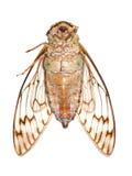 Macro della cicala dell'insetto Immagine Stock Libera da Diritti