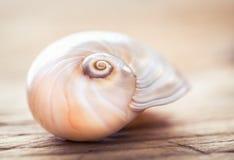 Macro della conchiglia, fine su Natura morta della decorazione della spiaggia Fotografia Stock