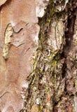 Macro della corteccia del pino immagini stock