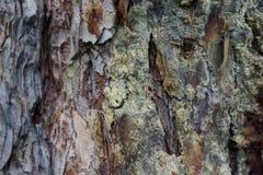 Macro della corteccia giallo-grigia del pinus alpino caucasico del pino Fotografia Stock Libera da Diritti