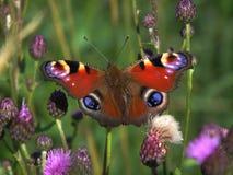 Macro della farfalla fotografie stock libere da diritti