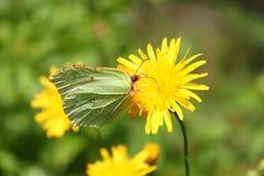 Macro della farfalla Immagine Stock
