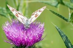 Macro della farfalla fotografie stock