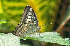 Macro della farfalla del gufo Fotografia Stock