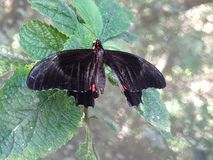 Macro della farfalla nera e rossa fotografia stock