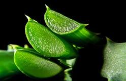 Macro della fetta di verde della pianta dell'aloe isolata sul nero Fotografia Stock