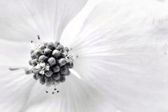 Macro della fioritura del corniolo di Kousa Fotografia Stock