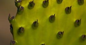 Macro della foglia del cactus in un giardino francese Fotografia Stock