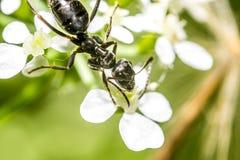 Macro della formica Fotografie Stock Libere da Diritti