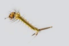 Macro della larva della zanzara fotografie stock libere da diritti