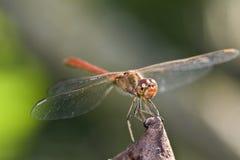 Macro della libellula fotografia stock