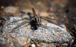 Macro della libellula Immagini Stock