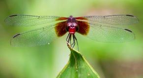 Macro della libellula fotografia stock libera da diritti