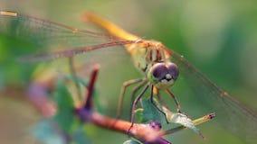 Macro della libellula video d archivio