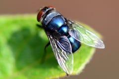 Macro della mosca Fotografie Stock Libere da Diritti