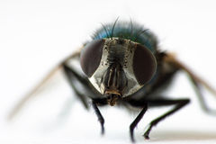 Macro della mosca comune Fotografia Stock Libera da Diritti