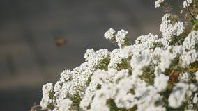 Macro della mosca con i grandi occhi sul fiore bianco isolato su fondo nero Natura e fondo selvaggio di vita grande insetto sopra archivi video
