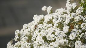 Macro della mosca con i grandi occhi sul fiore bianco isolato su fondo nero Natura e fondo selvaggio di vita grande insetto sopra video d archivio