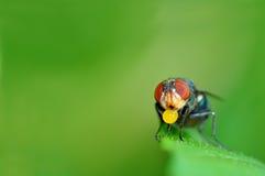 Macro della mosca dell'insetto Fotografia Stock Libera da Diritti