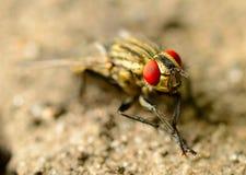 Macro della mosca dell'insetto su una terra Fotografie Stock Libere da Diritti