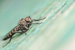 Macro della mosca di ladro Fotografie Stock