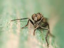 Macro della mosca di ladro Fotografie Stock Libere da Diritti