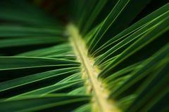 Macro della palma da datteri Immagine Stock