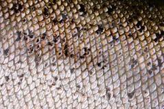 Macro della pelle dei pesci Fotografie Stock