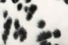 Macro della pelliccia dalmata del cucciolo Fotografie Stock