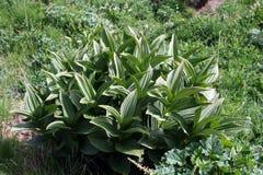 Macro della pianta in Cerler immagini stock