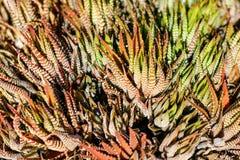 Macro della pianta del cactus dell'aloe - pianta succulente Fotografie Stock